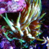 Stichodactyla grün (Min-Max Anemone)