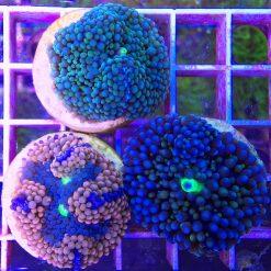3er Set Ricordea florida+ Coral Energizer
