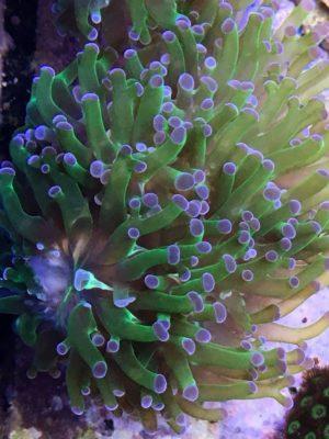 Euphyllia paradivisa green Torch 4 Köpfe (DNZ)