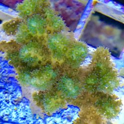 Montipora digitata bubble gum S