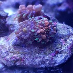 2x Scheibenanemone Ricordea Carzy Bounce Mushroom Bubbles Neon orange / grün *Rare*