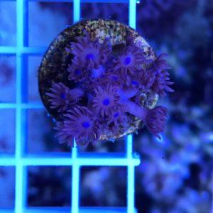 Goniopora red blue WYSIWYG