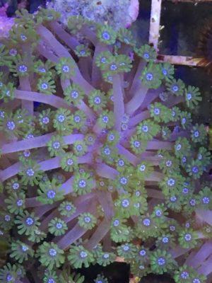 Goniopora bicolor (DNZ)