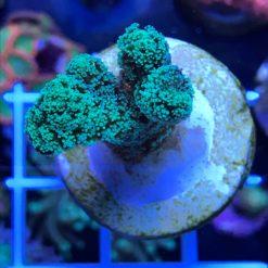 Stylophora neon grün WYSIWYG