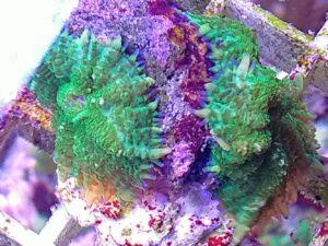 Scheibenanemone grün Zwei Stück