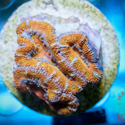 Acanthastrea lordhowensis Rot