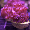 Goniopora Ultra Red Flash Frag