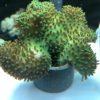 Lobophytum, Lederkoralle, Ableger ca. 2 x 2cm oder grösser