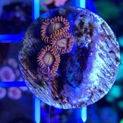 Pocillopora tricolor WYSIWYG