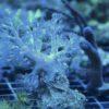 (WYSIWYG) Cespitularia erecta - Weichkoralle (rar) DNZ