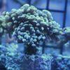 Euphyllia toxic splash