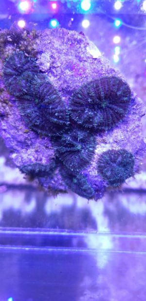 Rhodactis sp. 04 7 Scheiben auf Stein WYSIWYG