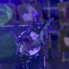 Stylophora pistillata (Milka) WYSIWYG