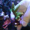 Acropora formosa lila