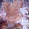 Pilzlederkoralle grüne Polypen