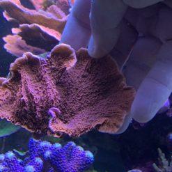 Acropora Austera