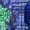 Acropora sp grün