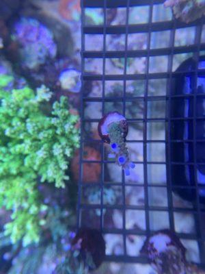 Acropora Staghorn/Plumosa blaue Spitzen