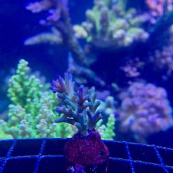 Acropora Echinata Ice Fire blau