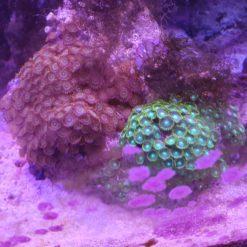 Korallen online kaufen