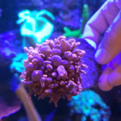 Scheibenanemone Carzy Bounce Mushroom Bubble Neon orange / grün *Rare* Bubbel M