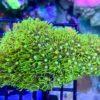 Tubipora musica - grüne Orgelkoralle