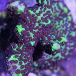 Stylopora Milka Sps Koralle