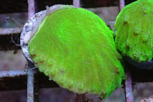 Sinularia Dura Neongrün