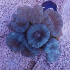 Xenien auf Stein mit 2 blauen Scheiben
