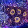 Zoanthus Sunny delight 5 Polypen (DNZ)