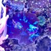 !! SONNTAGS SPECIAL !! Discosoma sp. - blau/violett