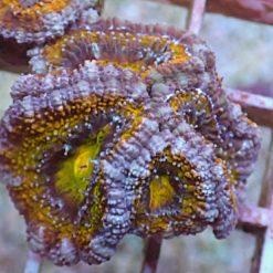 Acanthastrea Lordhowensis Rainbow WYSIWYG