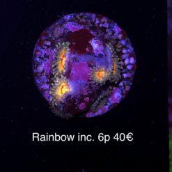 Zoa CC Rainbow