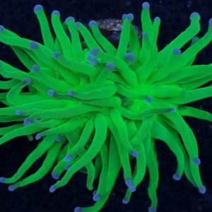 LPS Korallen online kaufen