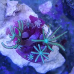 Pachyclavularia violacea Röhrenkoralle