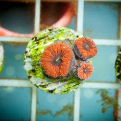 Acanthastrea Zoanthus Mix