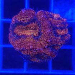 Fungia Multicolor ca. 3-4 cm