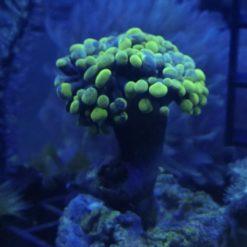 (WYSIWYG) Cespitularia erecta – Weichkoralle (rar) DNZ