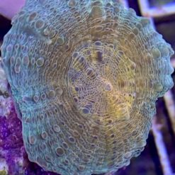 Acropora sp. bicolor beige blau (DNZ)