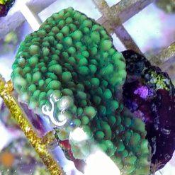 Scheibenanemone grün