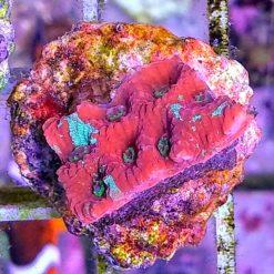 Acanthastrea red