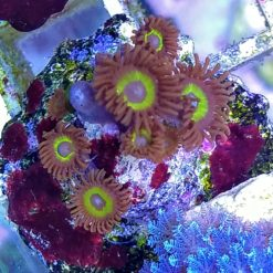 "Zoas ""Sonic Flare"""