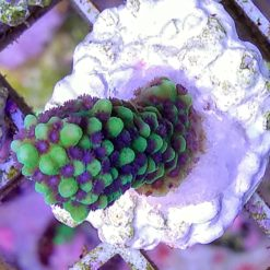 Montipora digitata grün