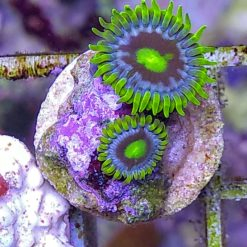 "Zoas ""Armor of God"""