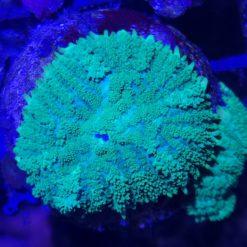 Kupferanemone Entacmaea quadricolor sunburst