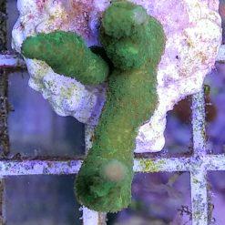 Montipora grün lila Rand