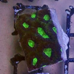1 Fungia