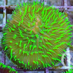 Clavularia Tricolor 4-5 Polypen