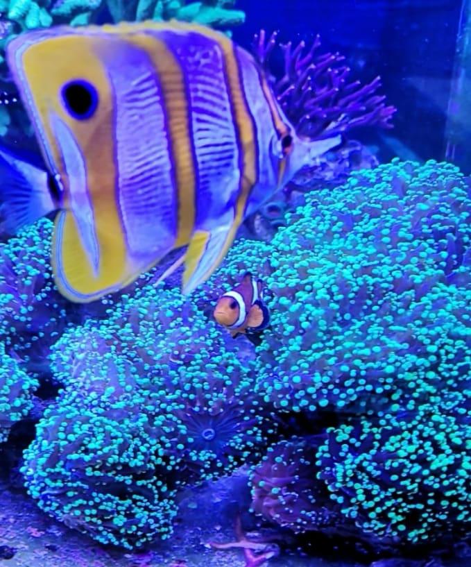 , Home Aquarium Korall Factory