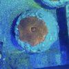 Blaubein-Einsiedlerkrebs